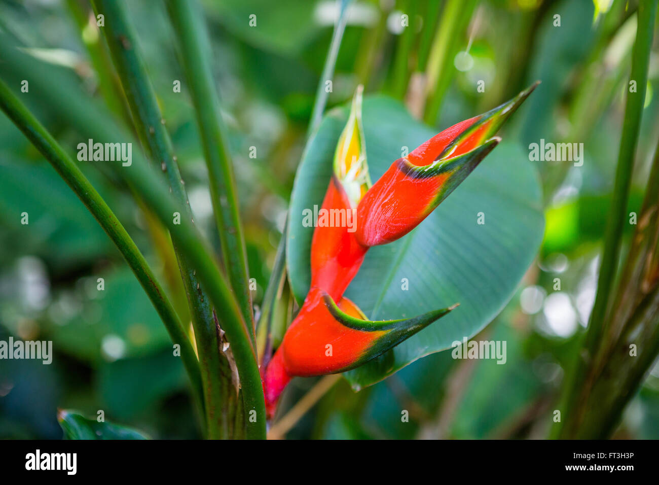 Heliconia Lobster Claw Plant in the shade - Stock Image