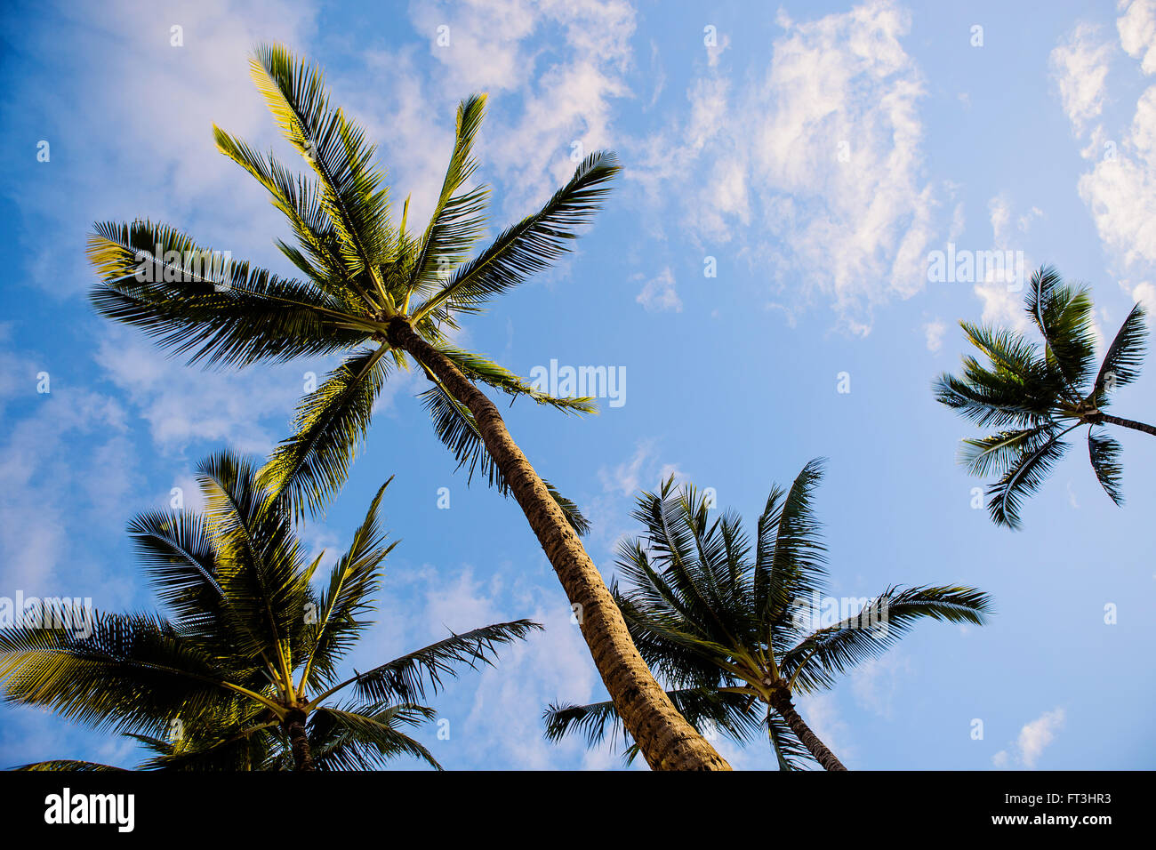 Palm trees from below under blue sky - Stock Image