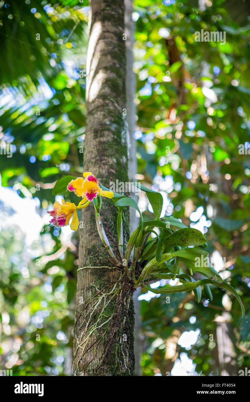 Orchid tree stock photos orchid tree stock images alamy yellow and pink cattleya orchid on a tree bark stock image mightylinksfo