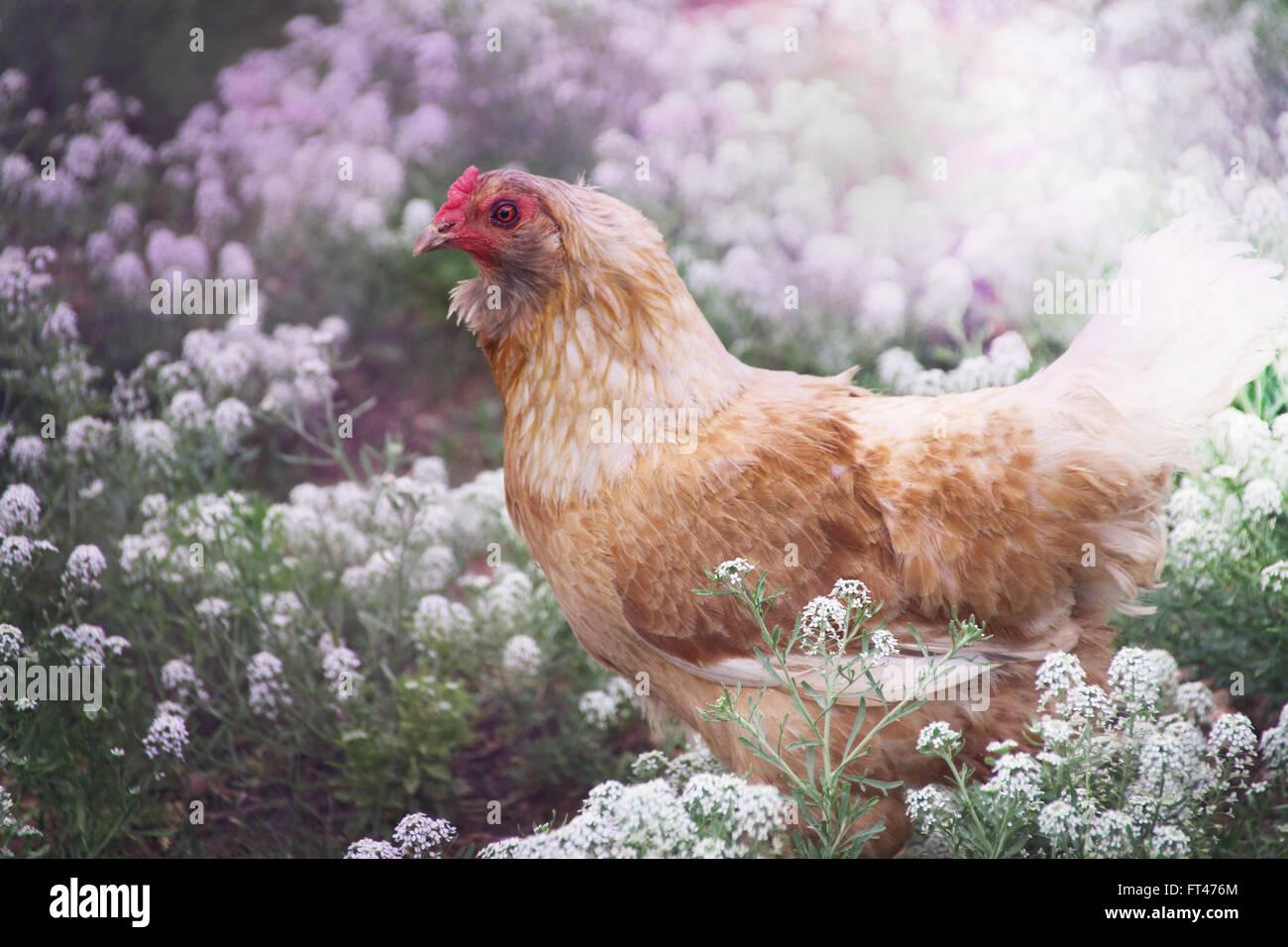 Free Range Chicken in a Field of Wildflowers. - Stock Image