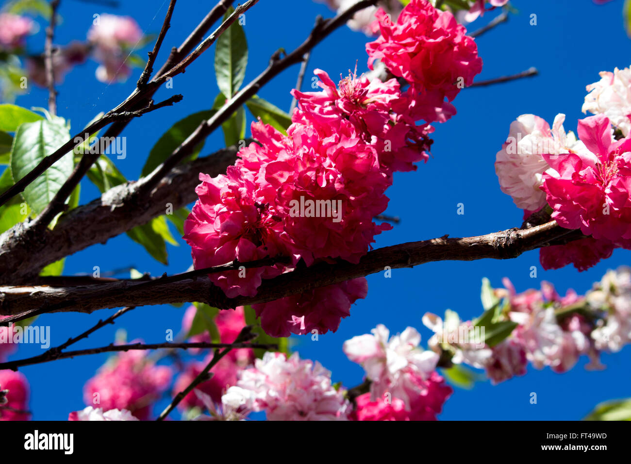 Pink two toned  double frilly flowers of an ornamental fruit tree blossoming in spring adds colour and charm  to - Stock Image