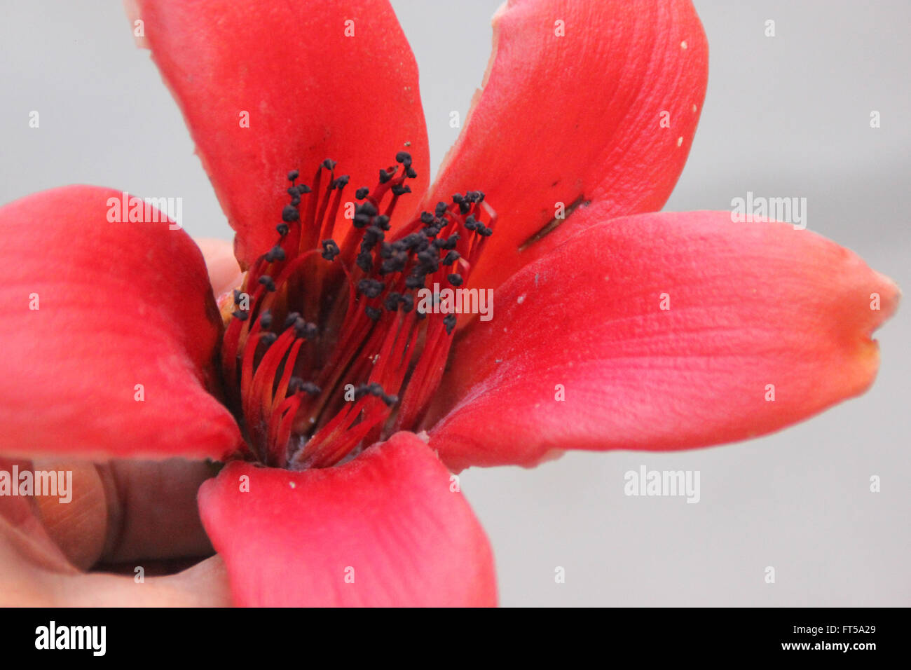 Bombax Ceiba Red Silk Cotton Tree Deciduous Tree With Large Red