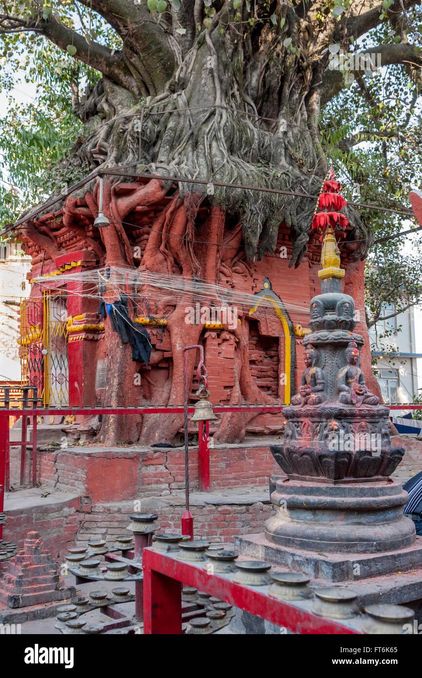 Nepal, Kathmandu.  Tree Growing Atop Hindu Shrine.  Hindus tie string around banyan trees in hope of good fortune. - Stock Image