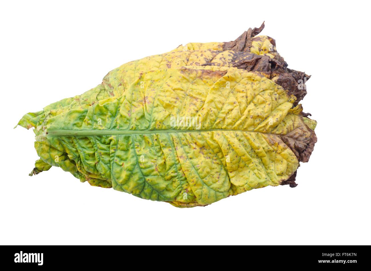 tobacco leaf isolated on white background - Stock Image
