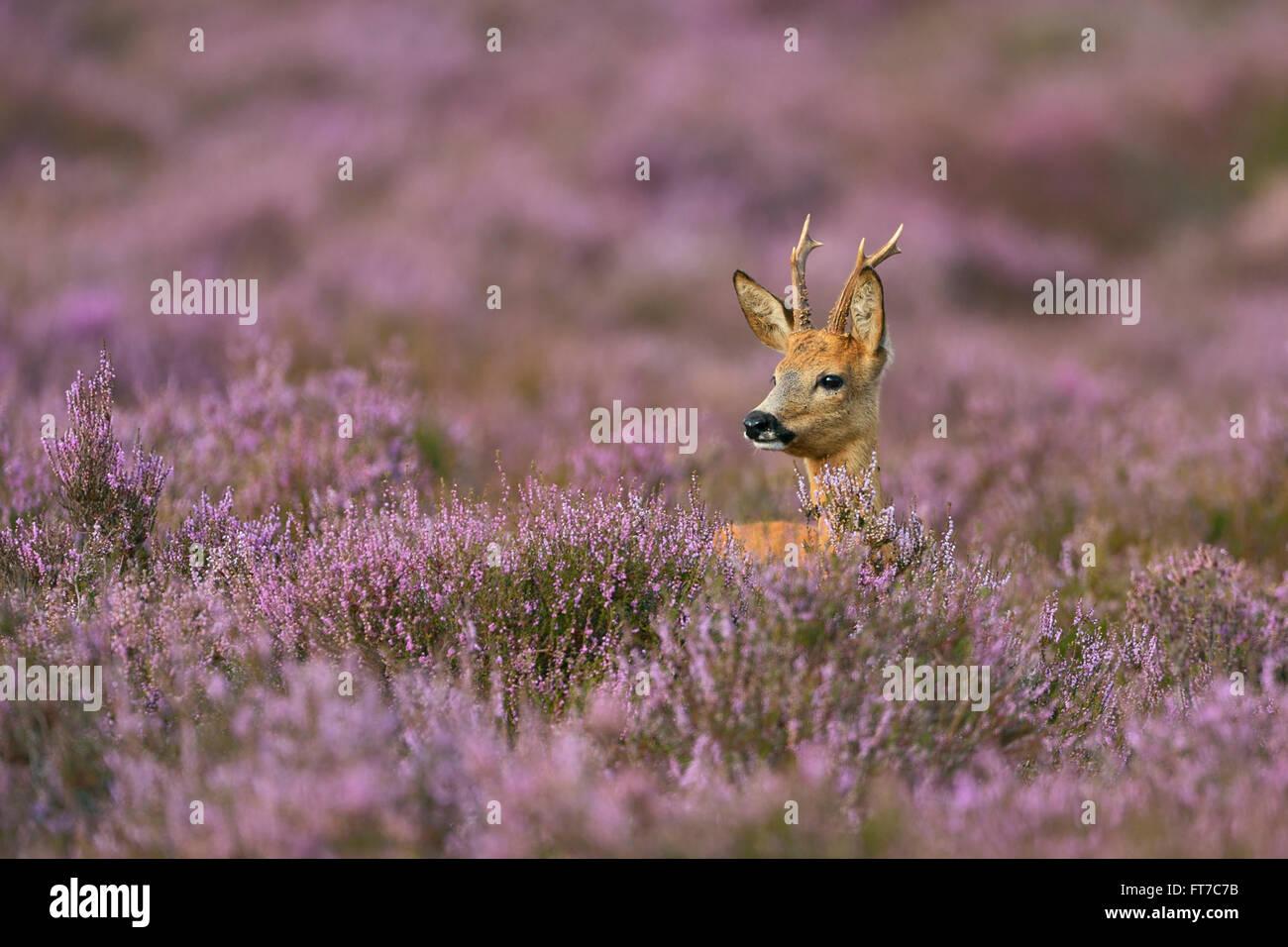 Male Roe deer / Reh / Rehbock ( Capreolus capreolus ) surrounded by wonderful purplish blooming heather. Stock Photo