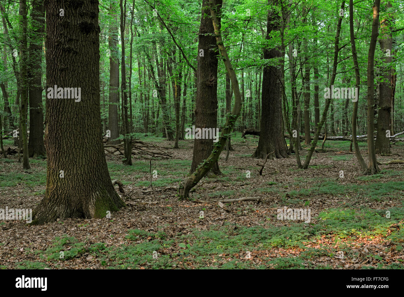 Natural forest / Natural wood reserve / Naturwaldzelle / Urspruenglicher Laubwald, protected area in spring. - Stock Image