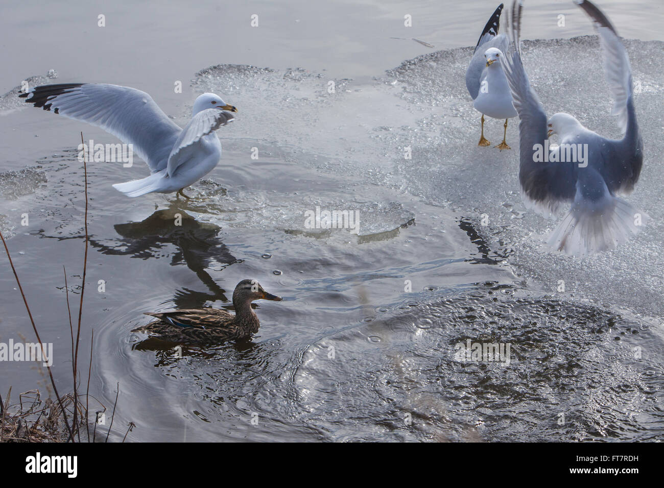 Canadian Ducks and Seagulls frolicking in the melting snow and ice. - Stock Image