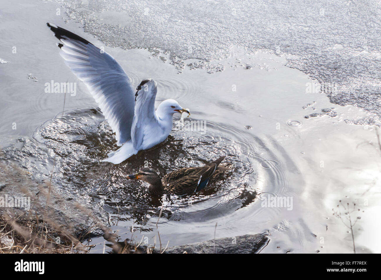 Seagulls frolicking in the melting snow and ice. - Stock Image