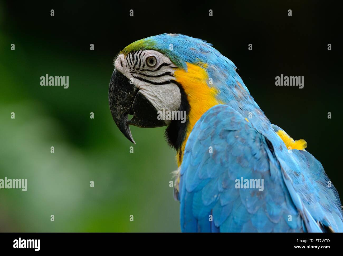 beautiful Blue-and-yellow Macaw (Ara ararauna), also known as the Blue-and-gold Macaw Stock Photo