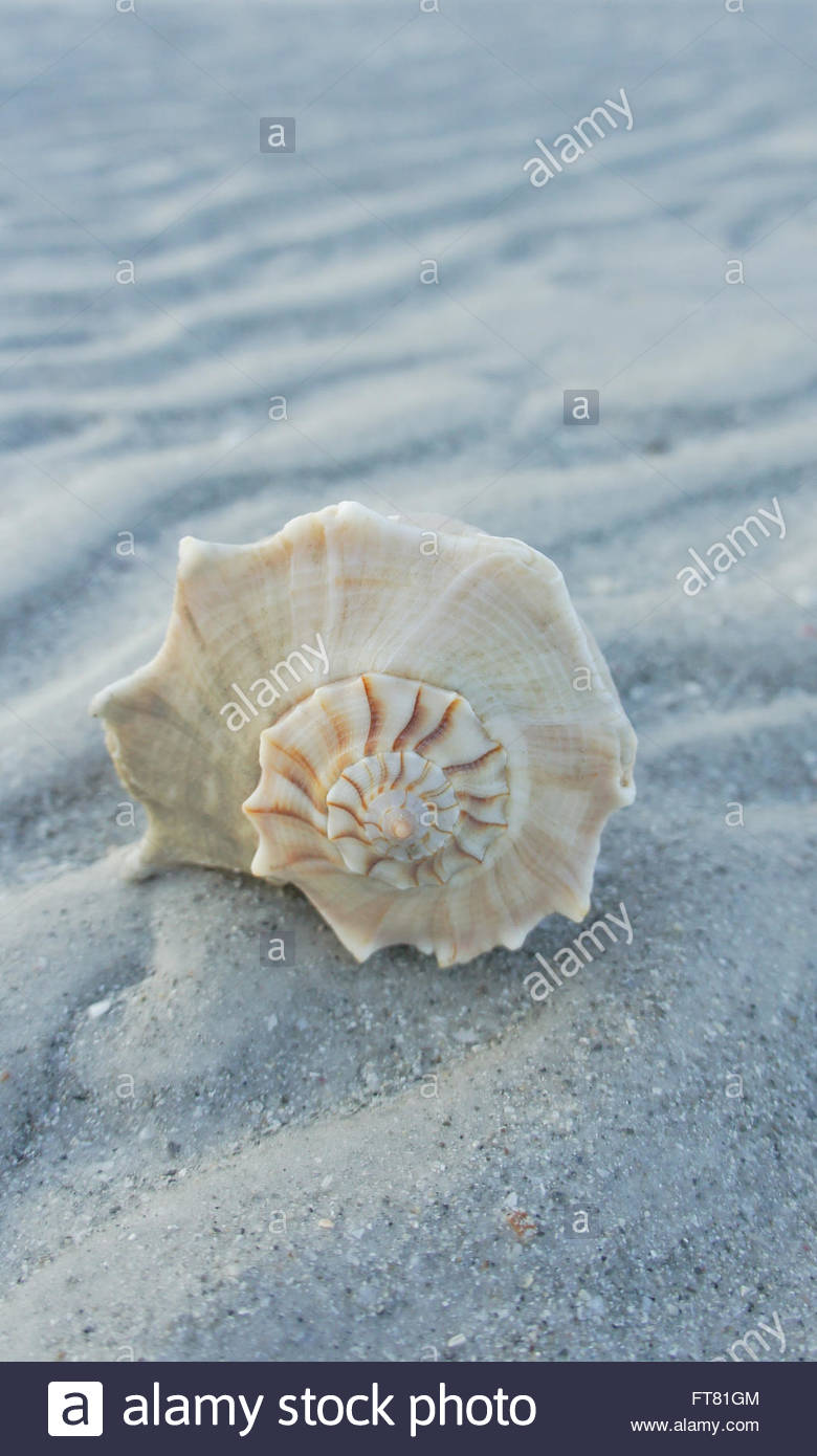 Lighting whelk living its life on the beach on sanibel island stock lighting whelk living its life on the beach on sanibel island florida when low tide arrives the water recedes to reveal marine life eco tourism publicscrutiny Choice Image