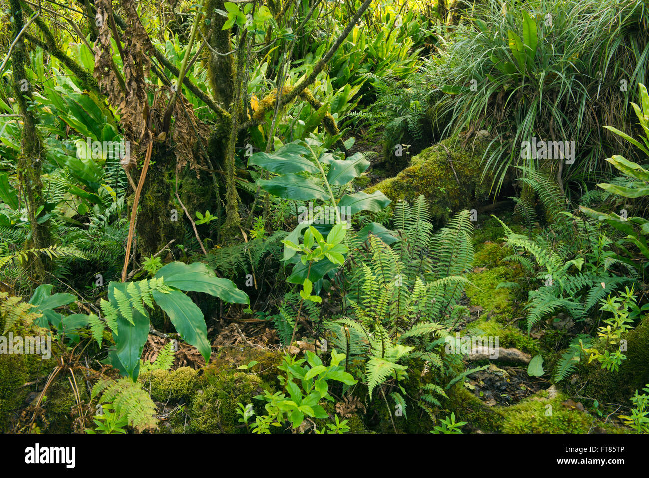 Mossy montane forest of Alaka'i Swamp, home to some of last endemic Hawaiian birds, Kauai, Hawaii - Stock Image