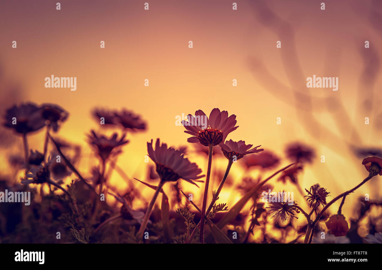 Beautiful daisy field on sunset light, silhouette of little gentle white flowers on orange evening sky background - Stock Image