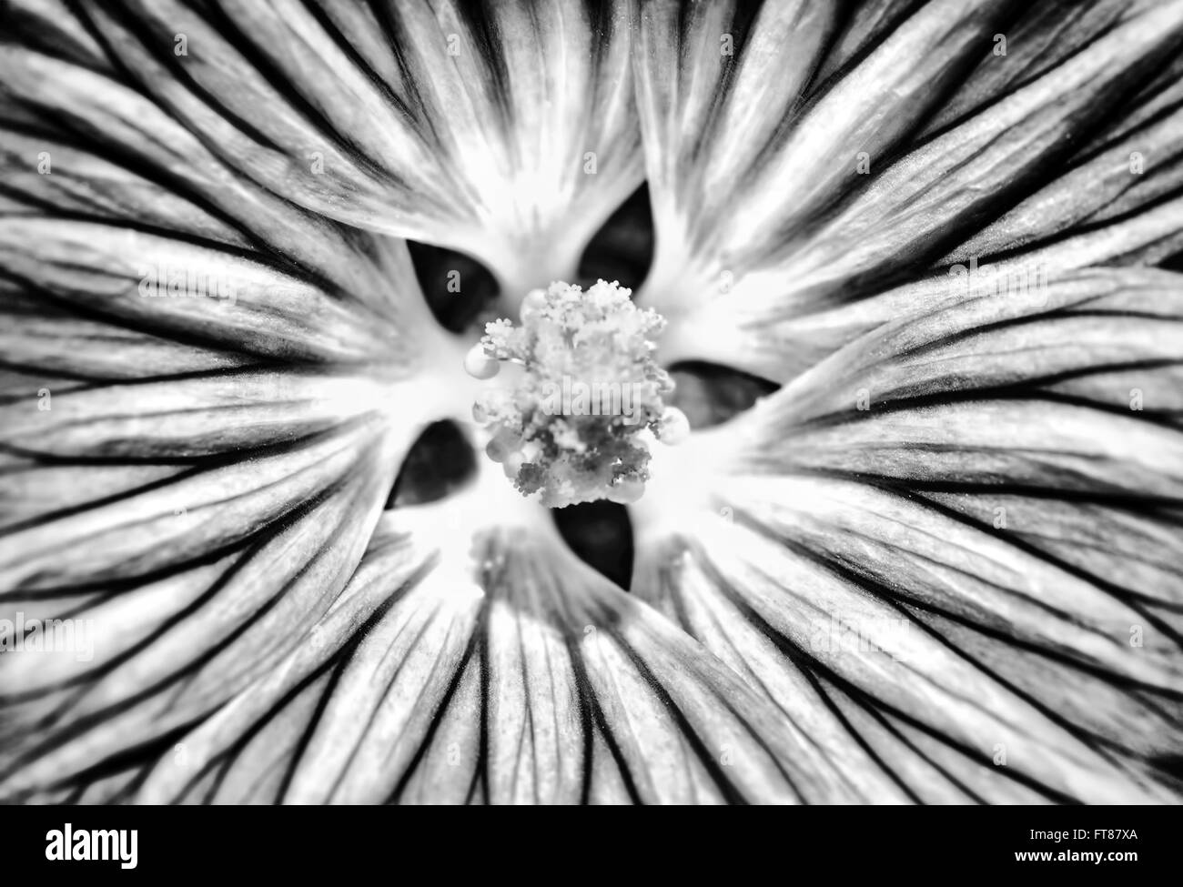 Closeup Black And White Photo Of Gerbera Flower Detail
