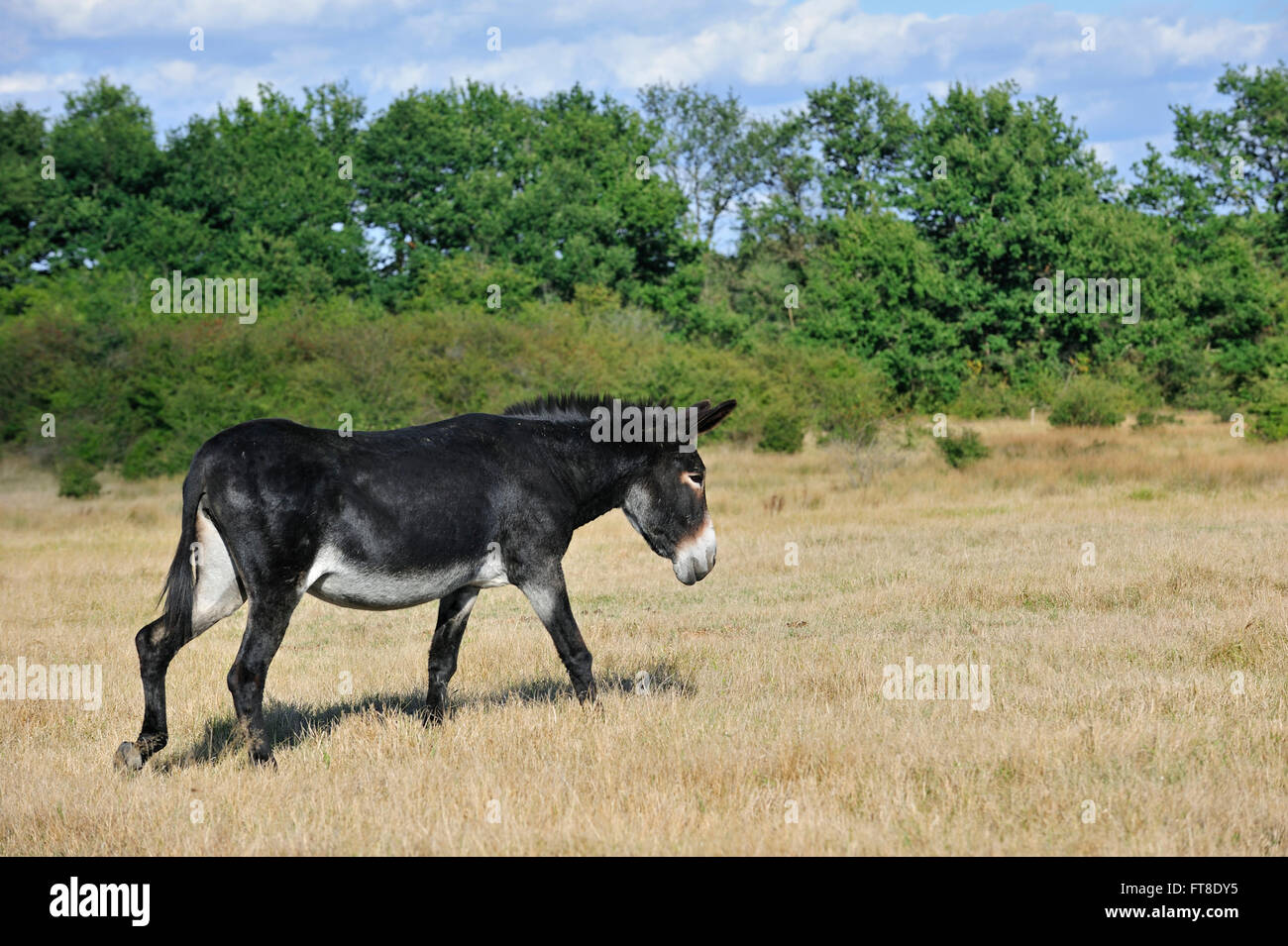 Grand Noir du Berry donkey (Equus asinus) in field, La Brenne, France Stock Photo