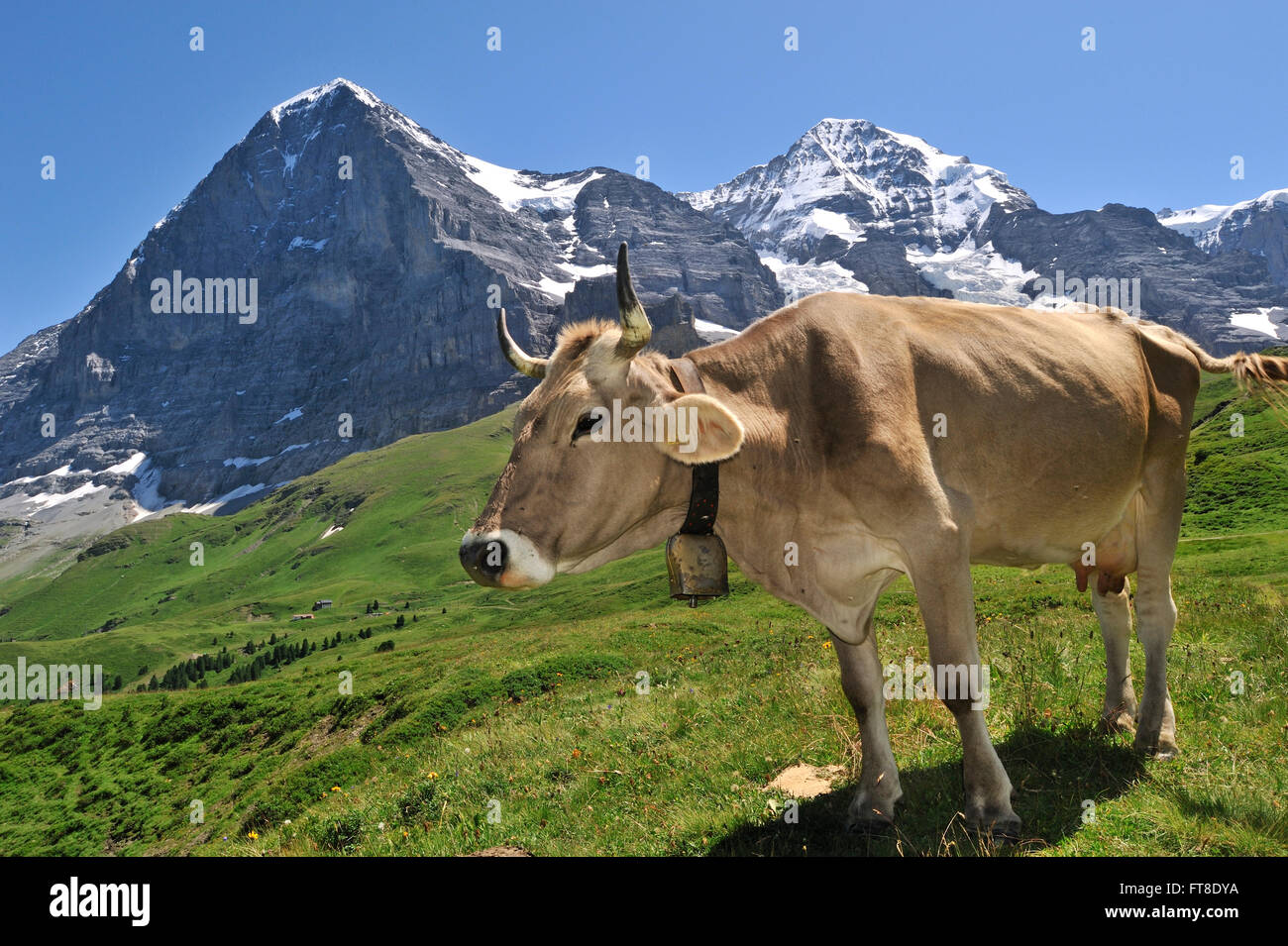 The Eiger mountain and brown Alpine cow (Bos taurus) with cowbell in alpine meadow, Swiss Alps, Switzerland - Stock Image