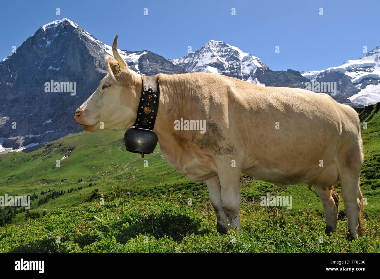 Portrait of brown Alpine cow (Bos taurus) with cowbell in alpine meadow, Swiss Alps, Switzerland - Stock Image