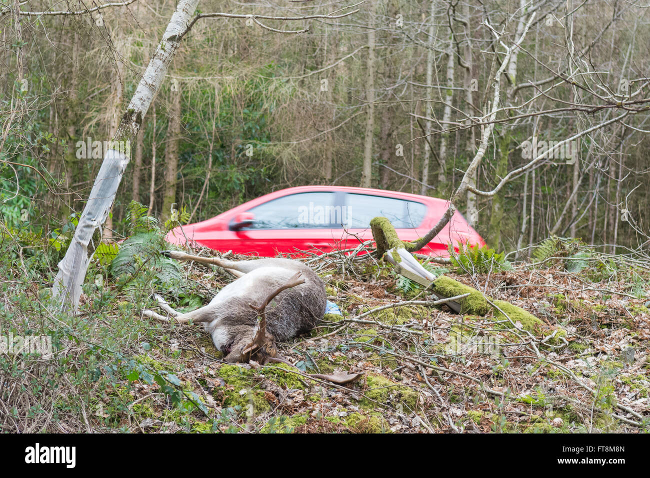Dead deer by the side of the A82 main road by the west side of Loch Lomond, Scotland, UK Stock Photo