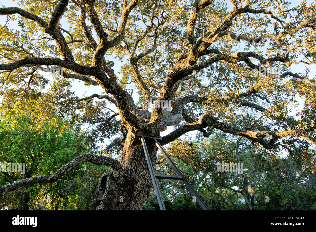 Ancient Southern Live Oak, being supported by iron frame, first morning light. - Stock Image