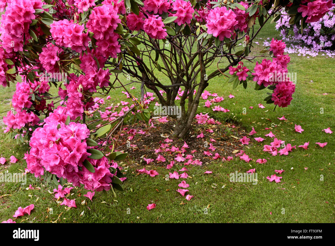 Pink Rhododendron bush in the Queenstown Gardens, Otago, South island,  New Zealand - Stock Image