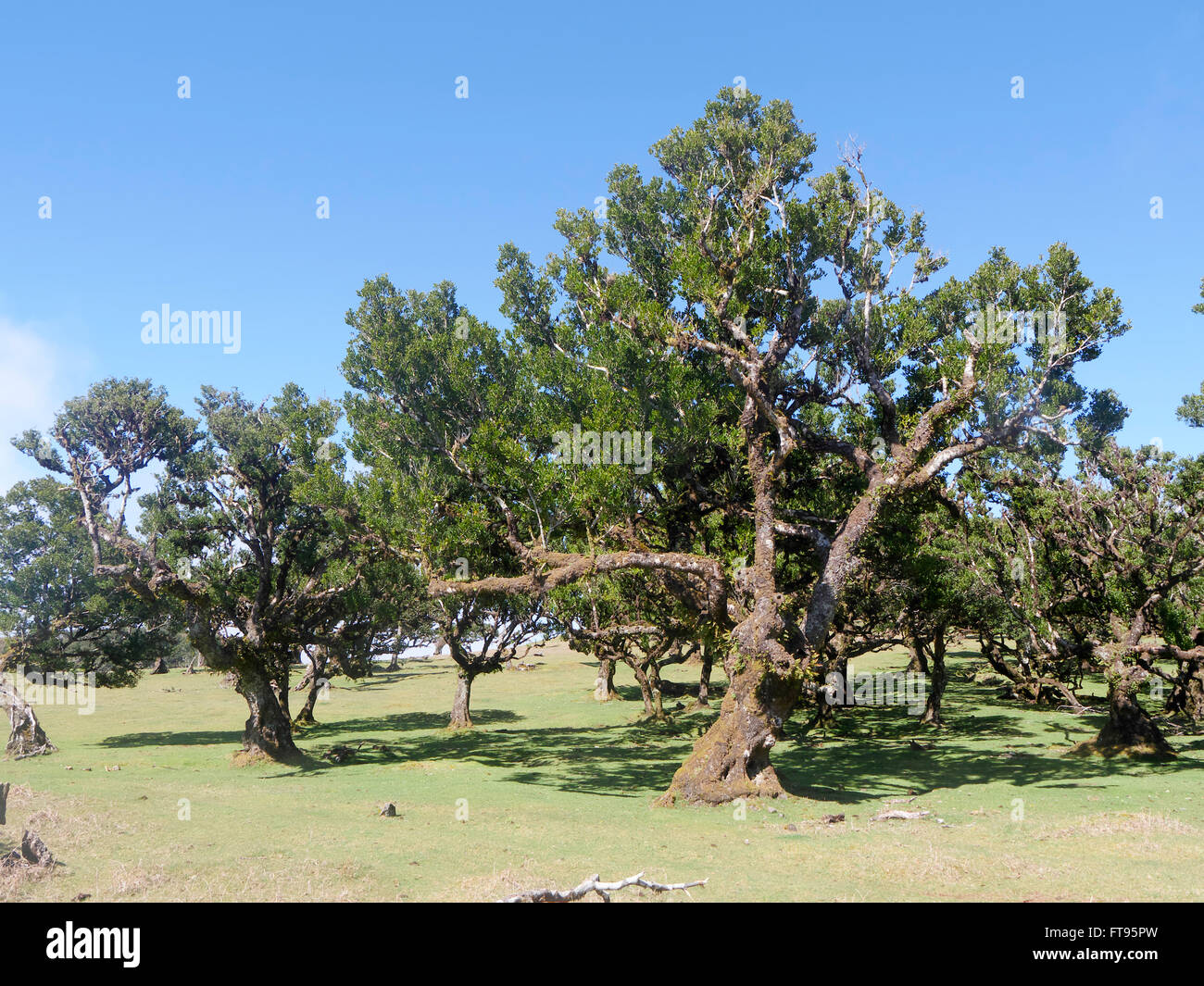 Laurel trees in Madeira, March 2016 - Stock Image