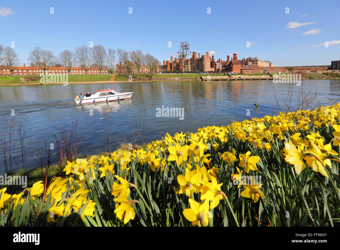 A swathe of yellow daffodils beside the Thames at Hampton Court, in the warm spring sunshine on Good Friday morning. Stock Photo