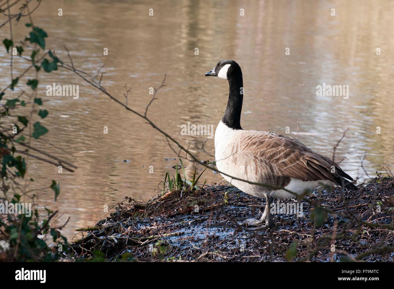 canada goose reading