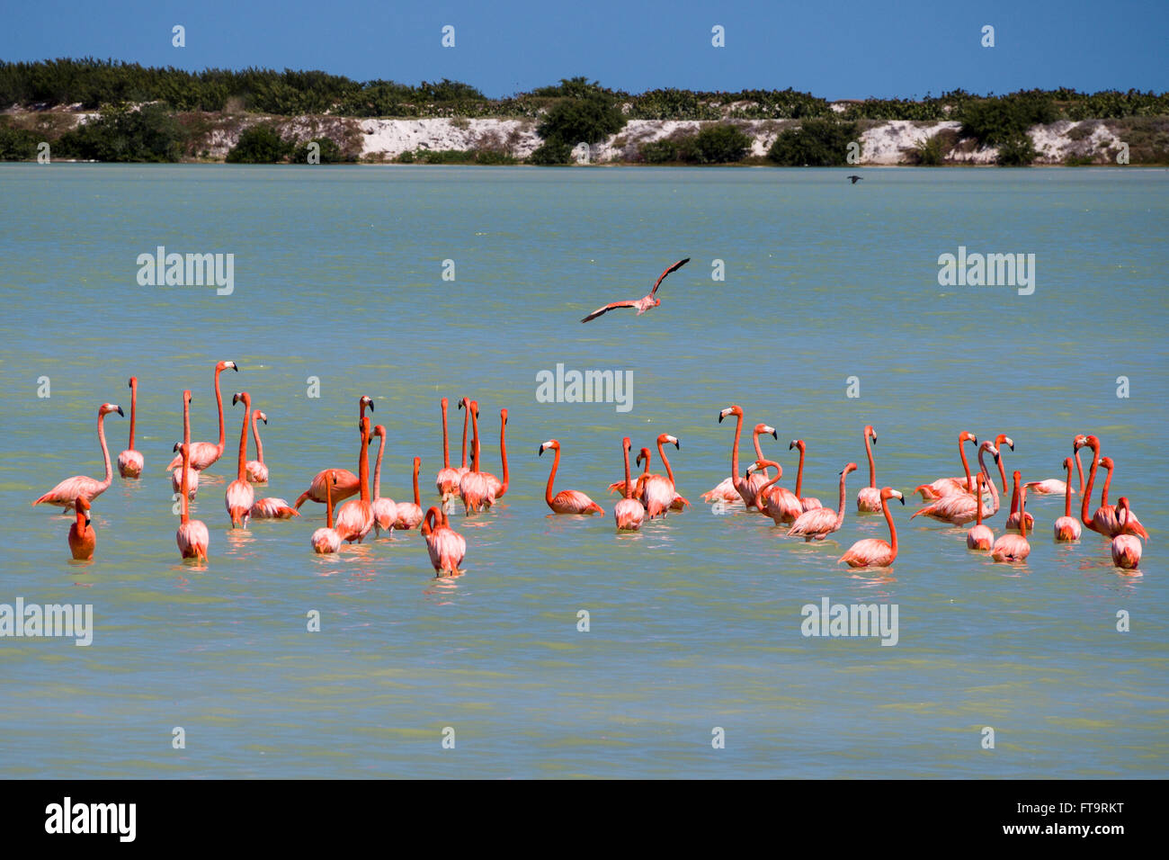 Flamingo Flock Fly by. A small flock of flamingos rests and preens in the shallow water of the salt evaporating - Stock Image