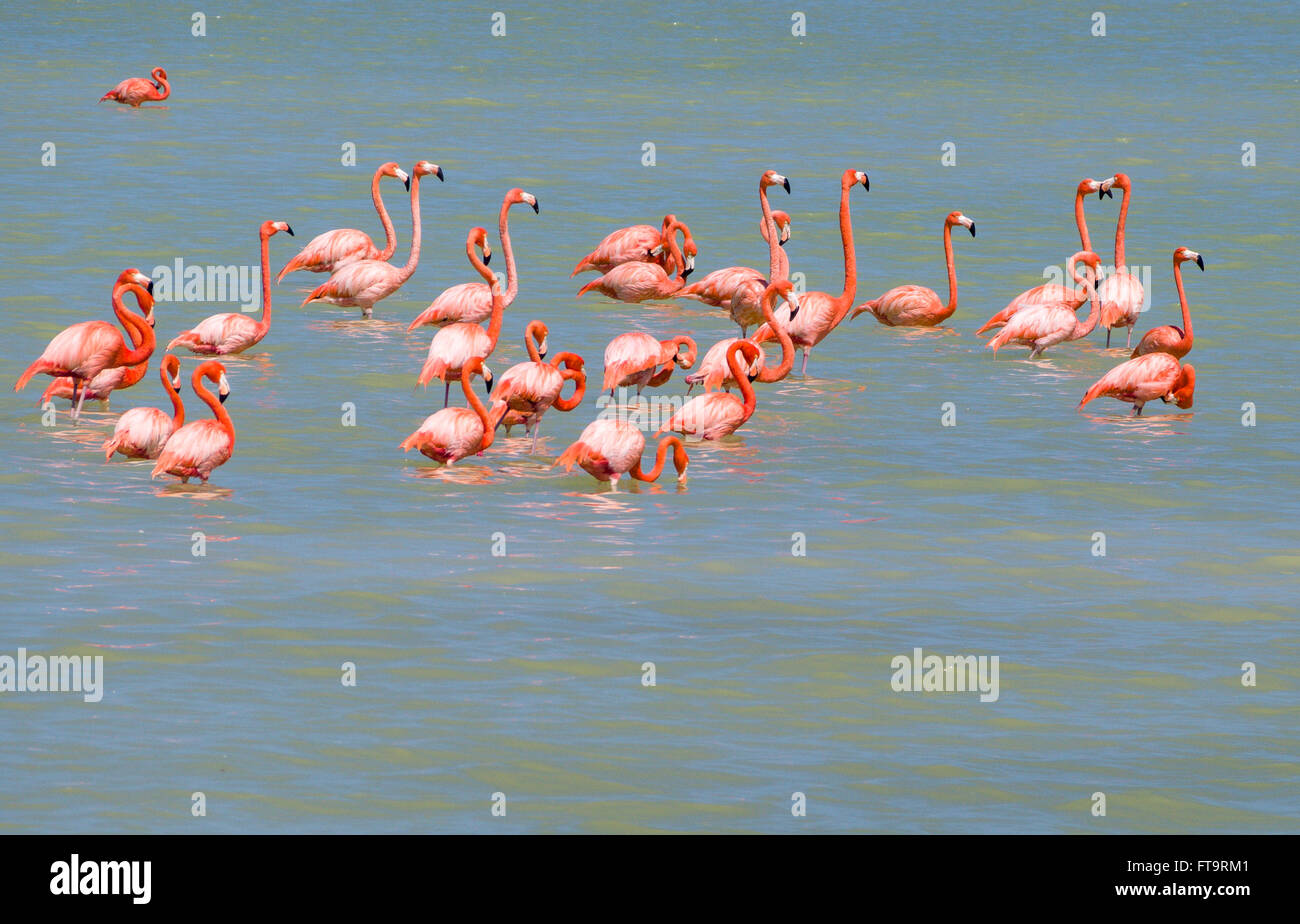 Bright Flamingo Flock. A small flock of flamingos rests and preens in the shallow water of the salt evaporating - Stock Image