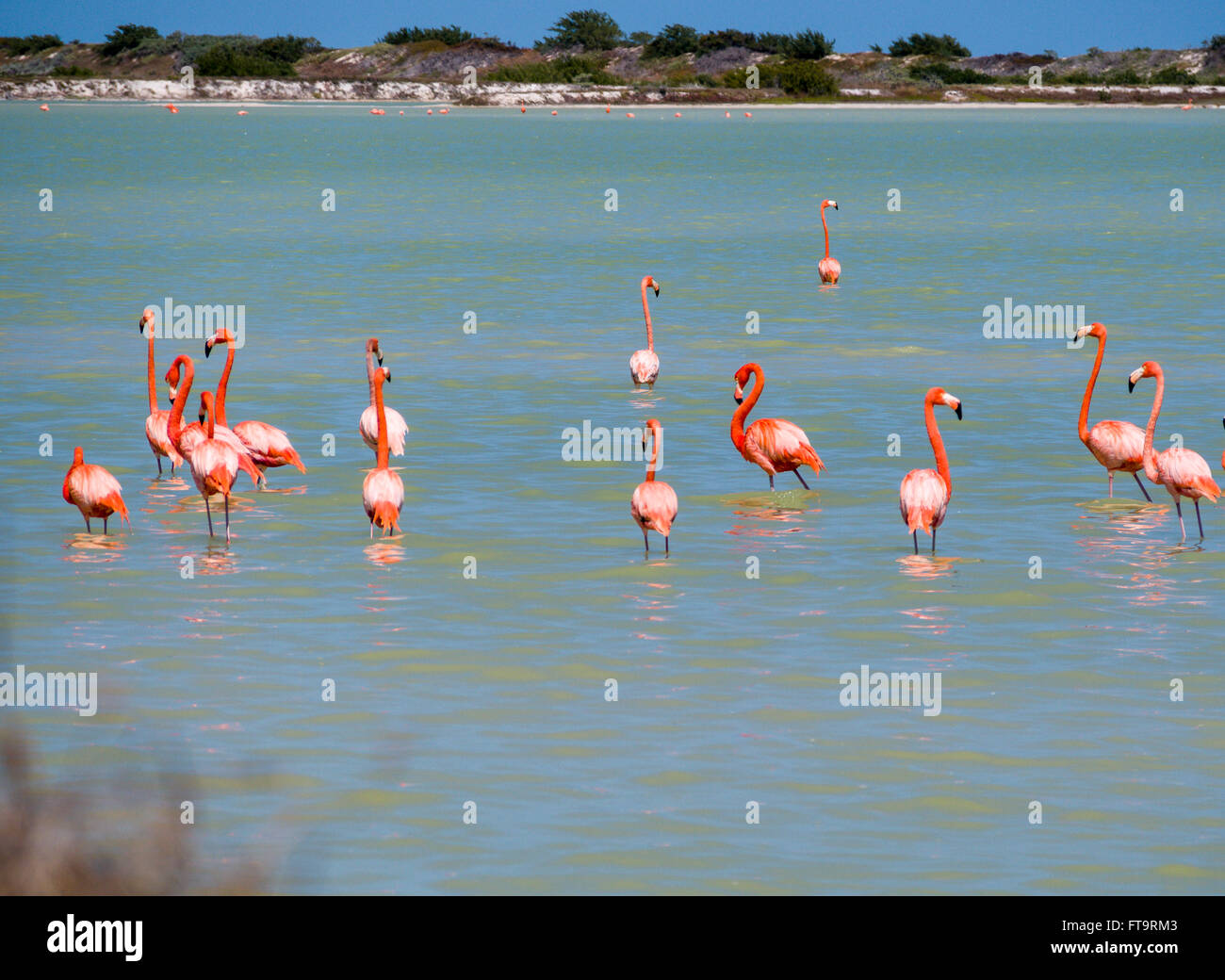 Bright Flamingo Flocks. A small flock of flamingos rests and preens in the shallow water of the salt evaporating - Stock Image