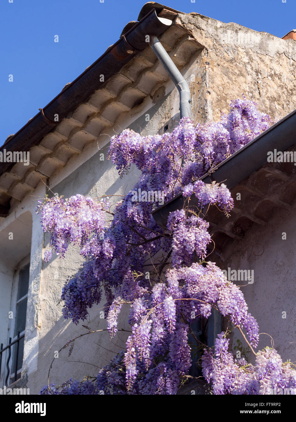 Wisteria draped drain pipe. A extravagantly blooming wisteria climbs up a drain pipe on the side of a house in a - Stock Image