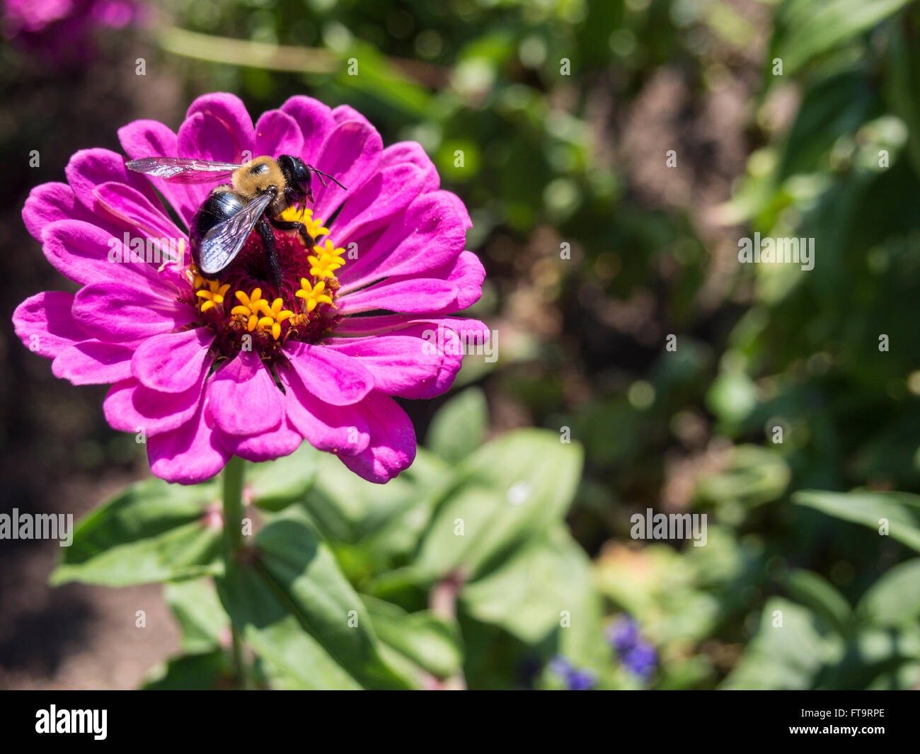 Large Carpenter Bee on a magenta Zinnia flower. A large bee works to gather nectar and pollinate a bright pink flower. - Stock Image