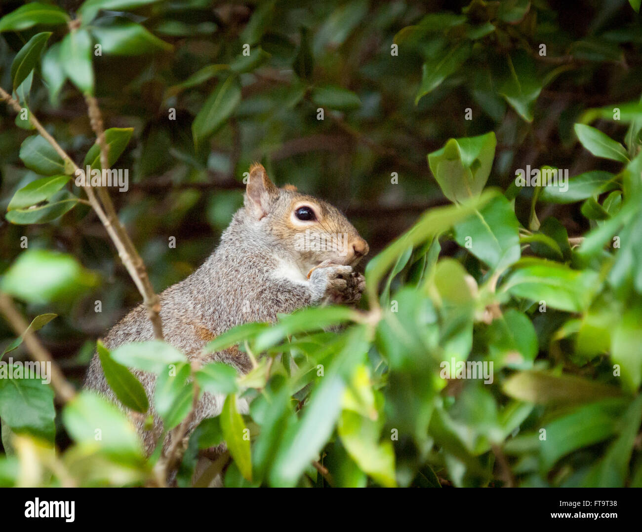 An eastern grey squirrel (Sciurus carolinensis) in a tree in Beacon Hill Park in Victoria, British Columbia, Canada. - Stock Image