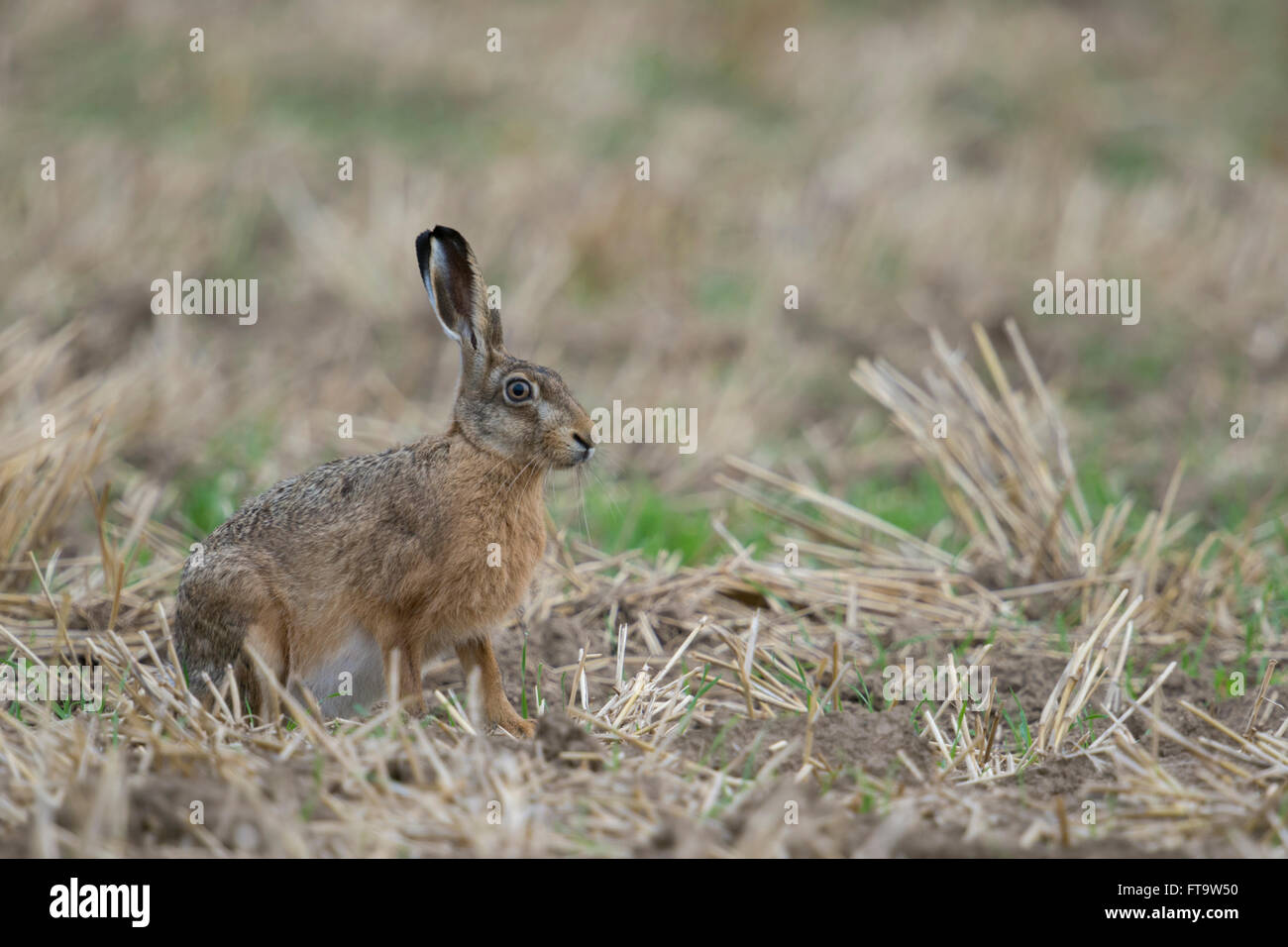 Brown Hare / European Hare / Feldhase ( Lepus europaeus ), attentive adult, sitting on a  stubble field. - Stock Image