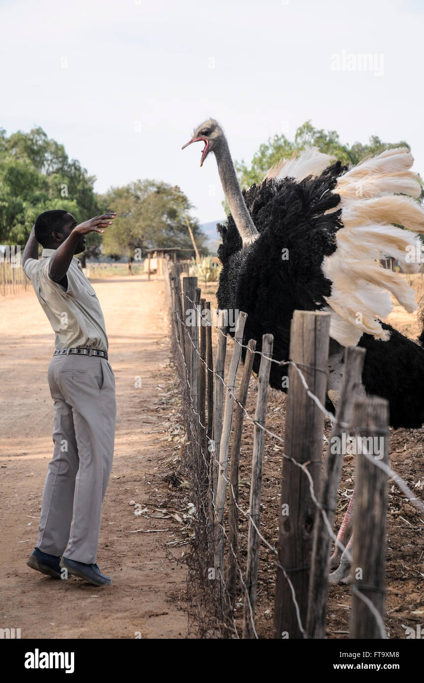 A male Ostrich shrieks at a park ranger with it's mouth open in Highgate Ostrich Show Farm - Stock Image
