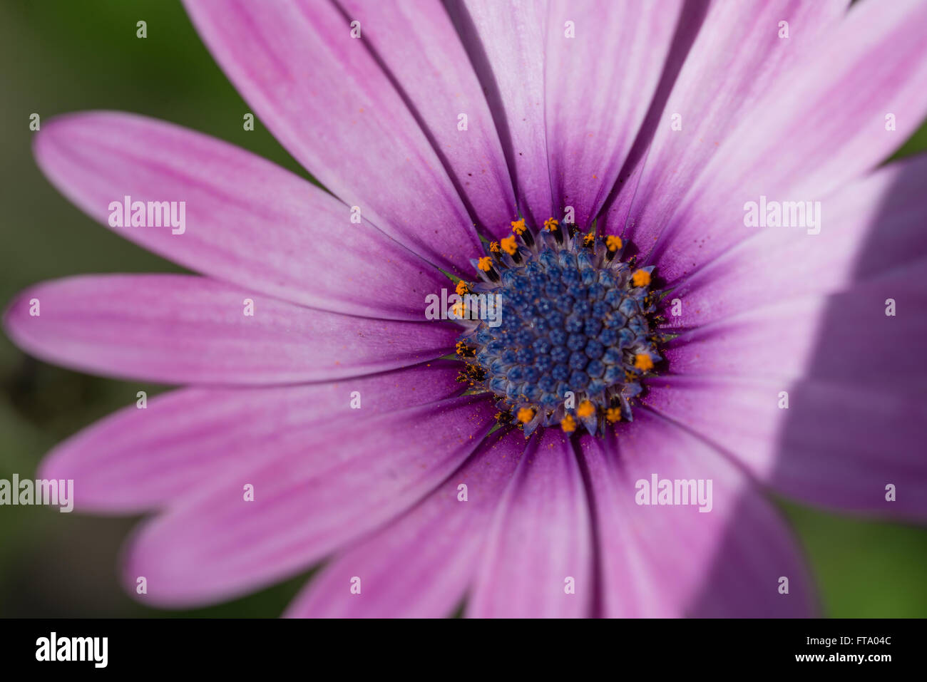 A close-up of  a purple flower - Stock Image