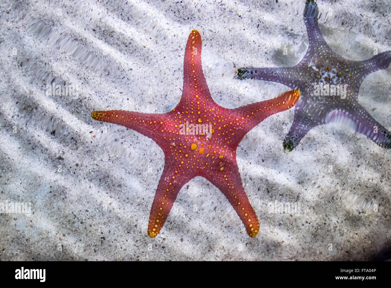 Red Sea Star Australia Stock Photos & Red Sea Star Australia Stock ...