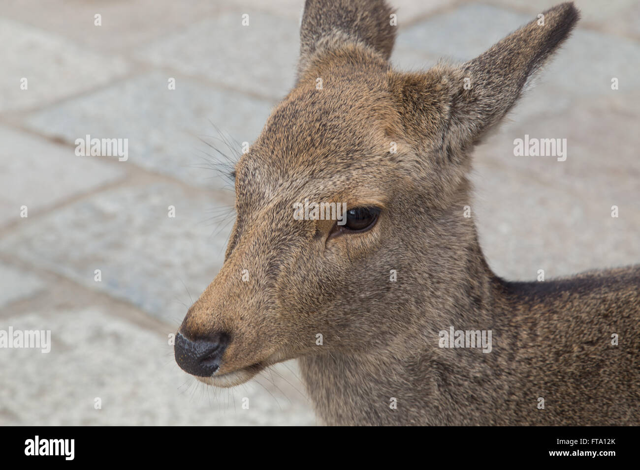 Close-up of tame deer in Nara Park, Japan - Stock Image