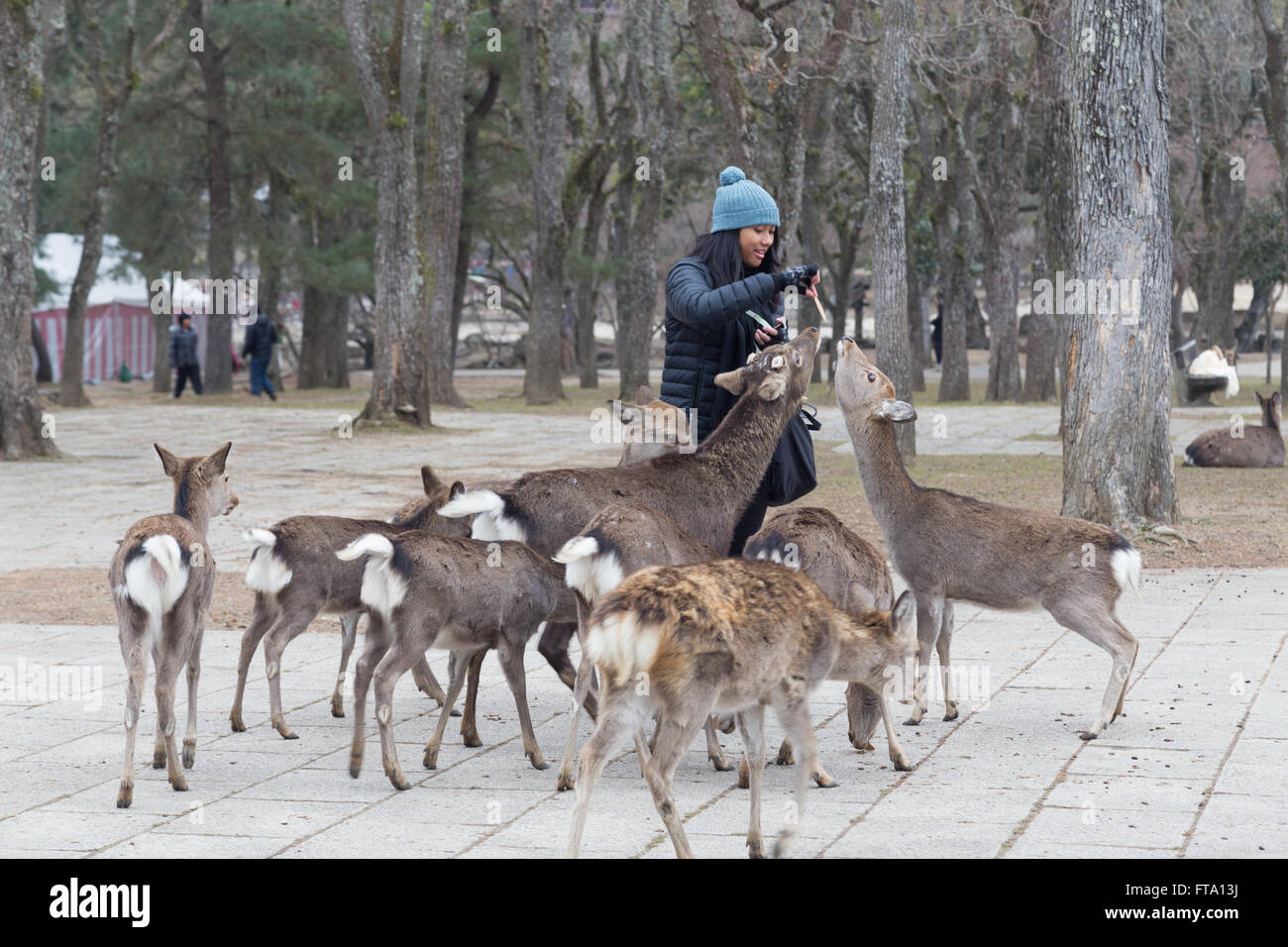 Nara, Japan - December 28, 2014: Visitor feeding tame wild deer in Nara Park. - Stock Image