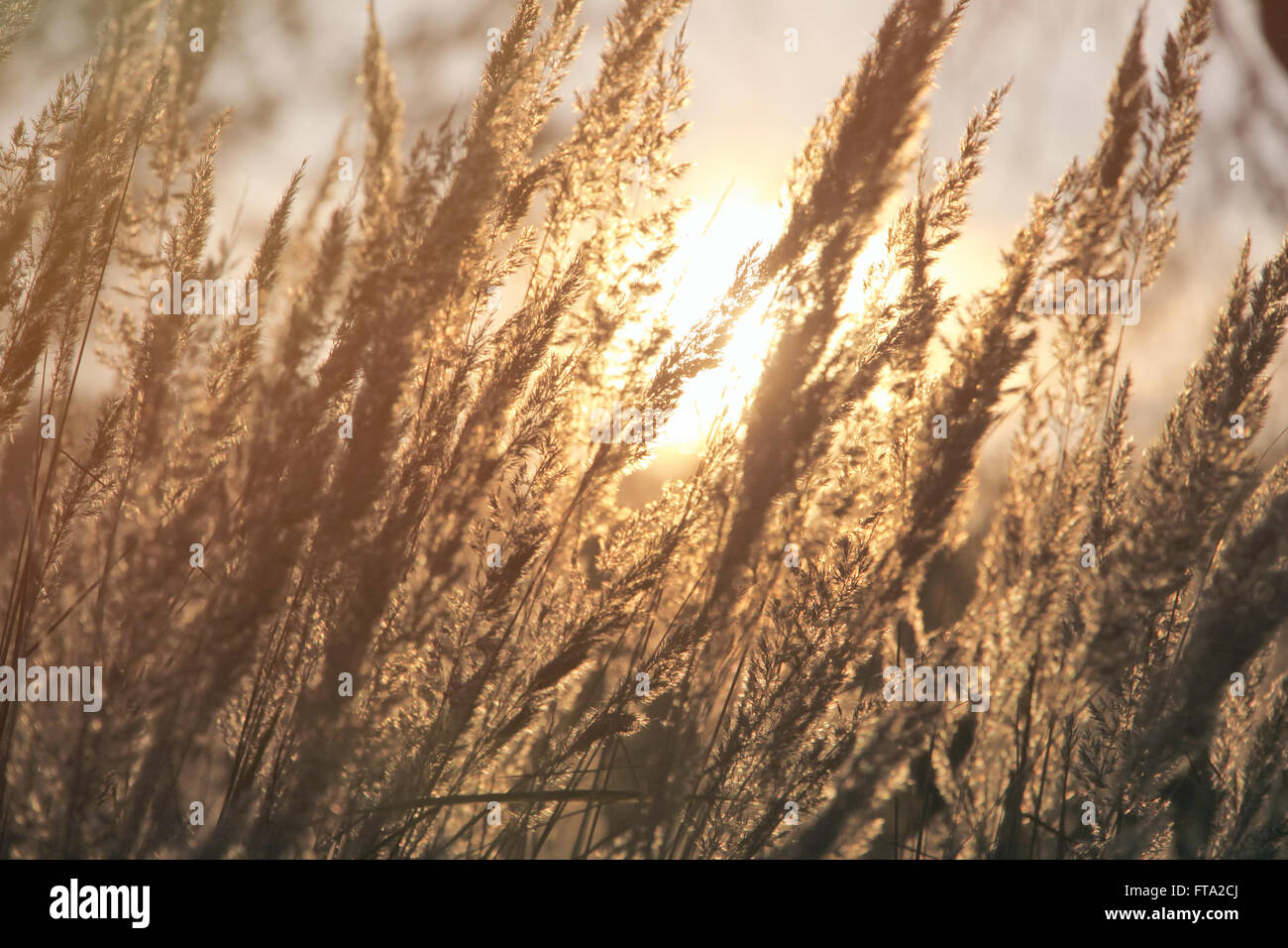 dry grass field background. Close-up Dry Grass Field Over Setting Sun Background (Soft Filter)