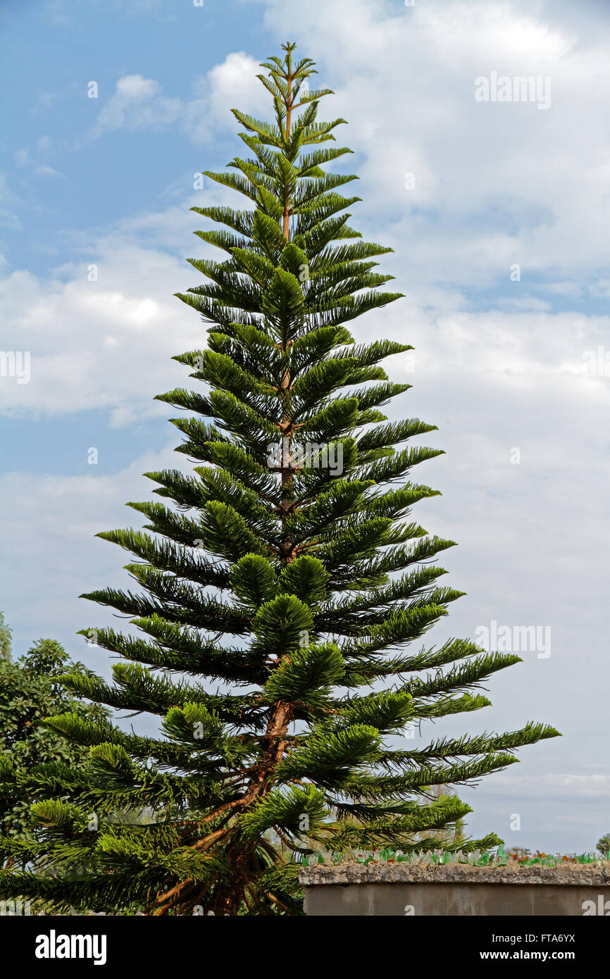 A tall and pointy African Conifer - Stock Image
