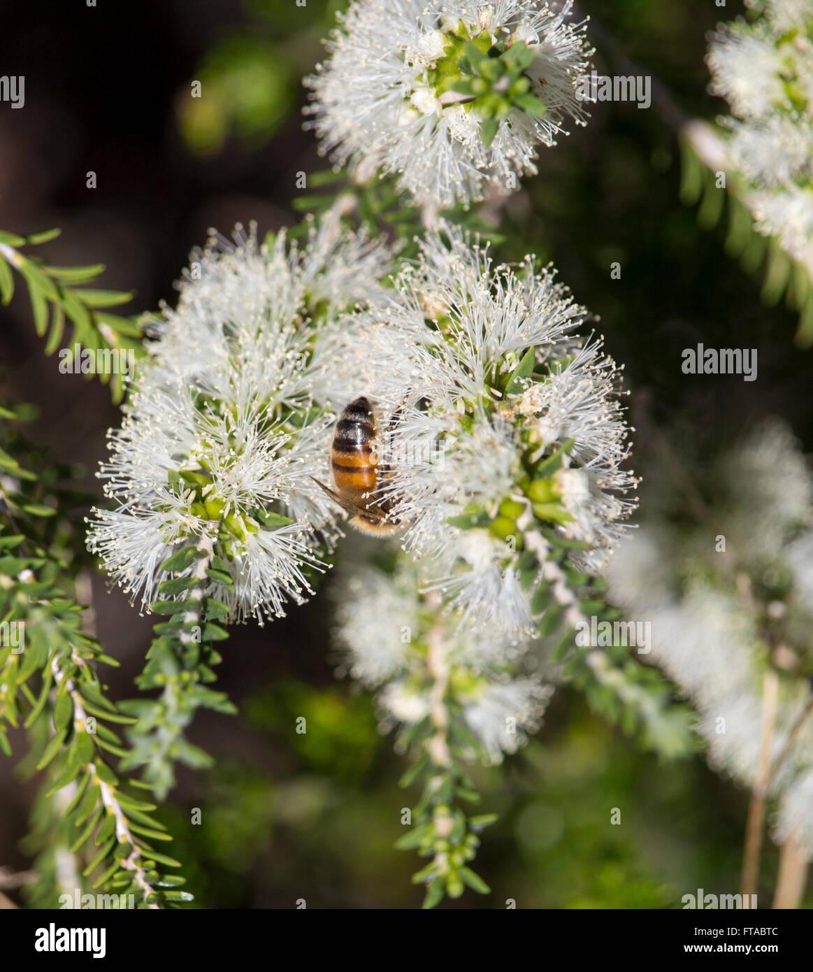 A honey bee on a white flowering Melaleuca or paper bark tree in ...