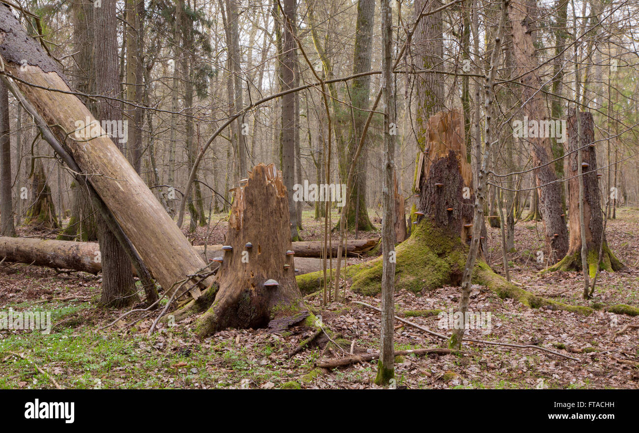 Springtime wet mixed forest with broken spruce trees and dead trees partly declined - Stock Image