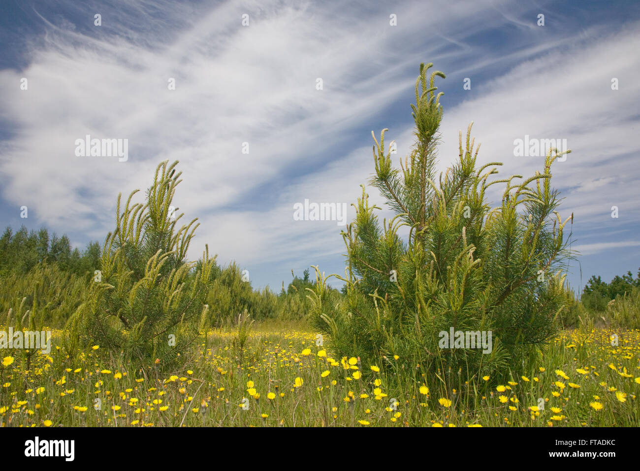 Young pine tree among grass and yellow flowers against blue cloudy sky,Podlasie Region,Poland,Europe - Stock Image