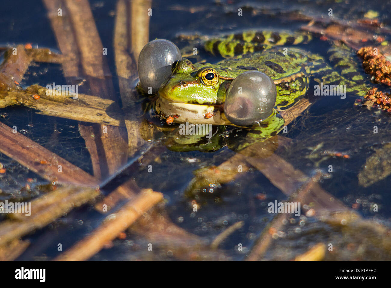 Marsh frog (Rana ridibunda)  showing inflated air vocal sacks in landscape format in water by reeds. Green with - Stock Image