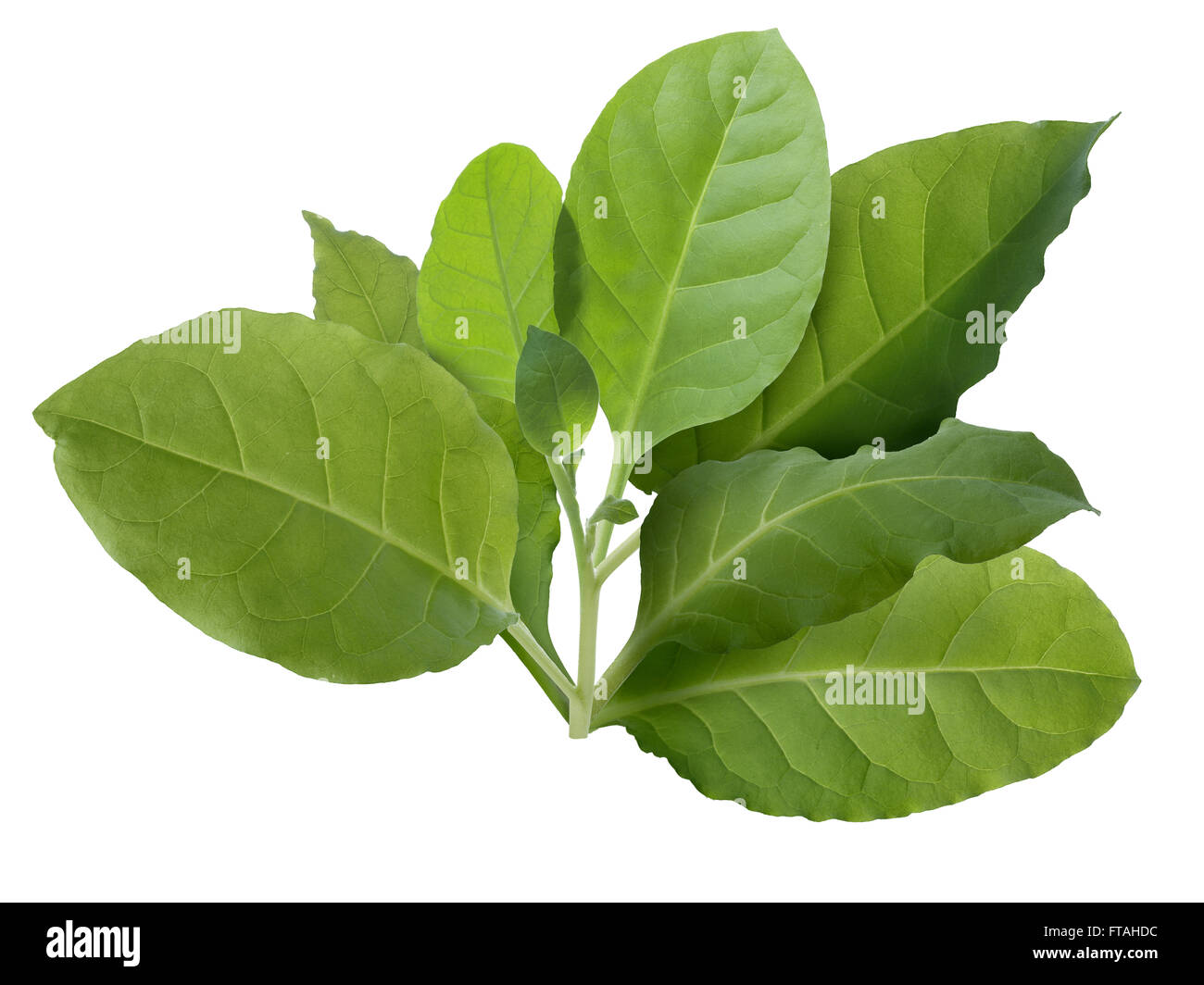 Tobacco leaves (Nicotiana tabacum), Viriginia variety. Infinite depth of field, clipping path - Stock Image