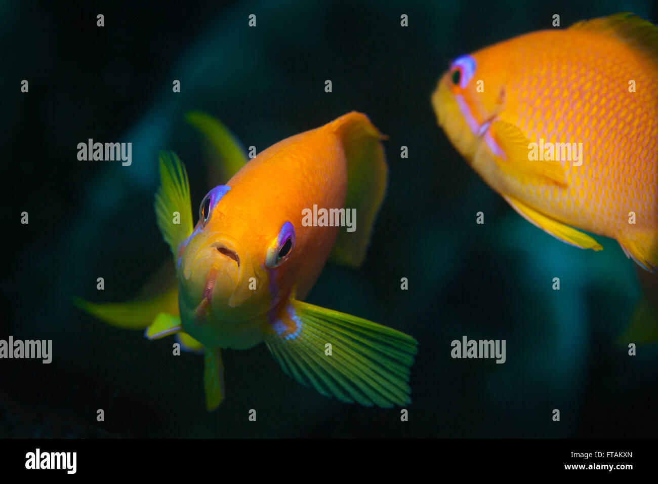 Female Scalefin Anthias - Stock Image