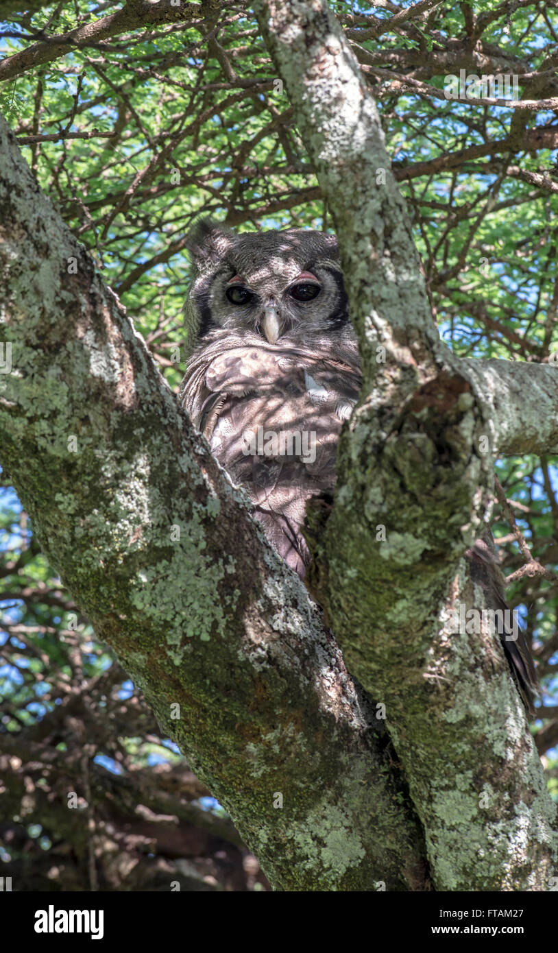 Verreaux's eagle-owl (Bubo lacteus) roosting in a tree. The species is sometimes called the giant or milky eagle - Stock Image