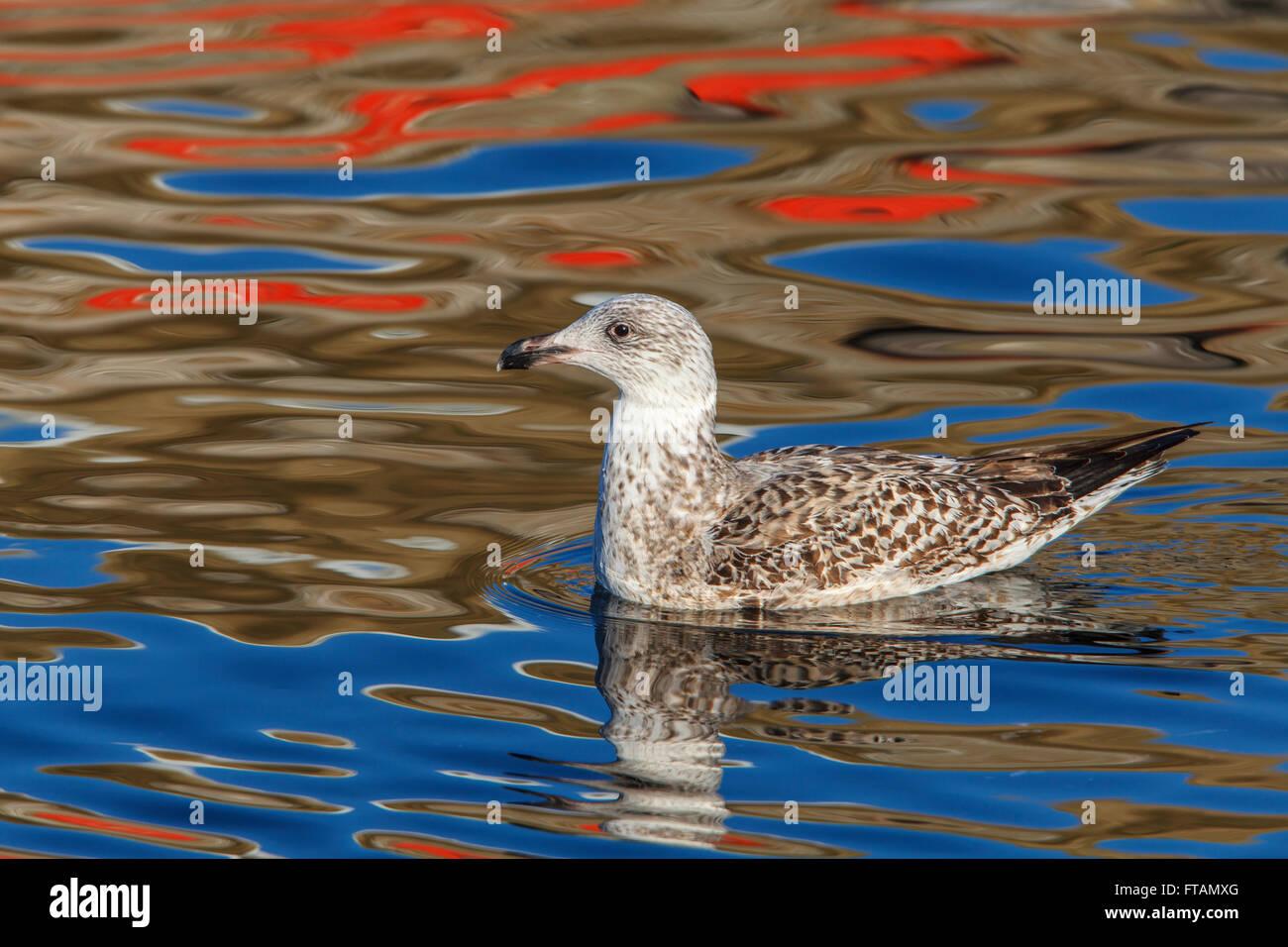 Herring Gull Larus argentatus 1st winter immature swimming - Stock Image