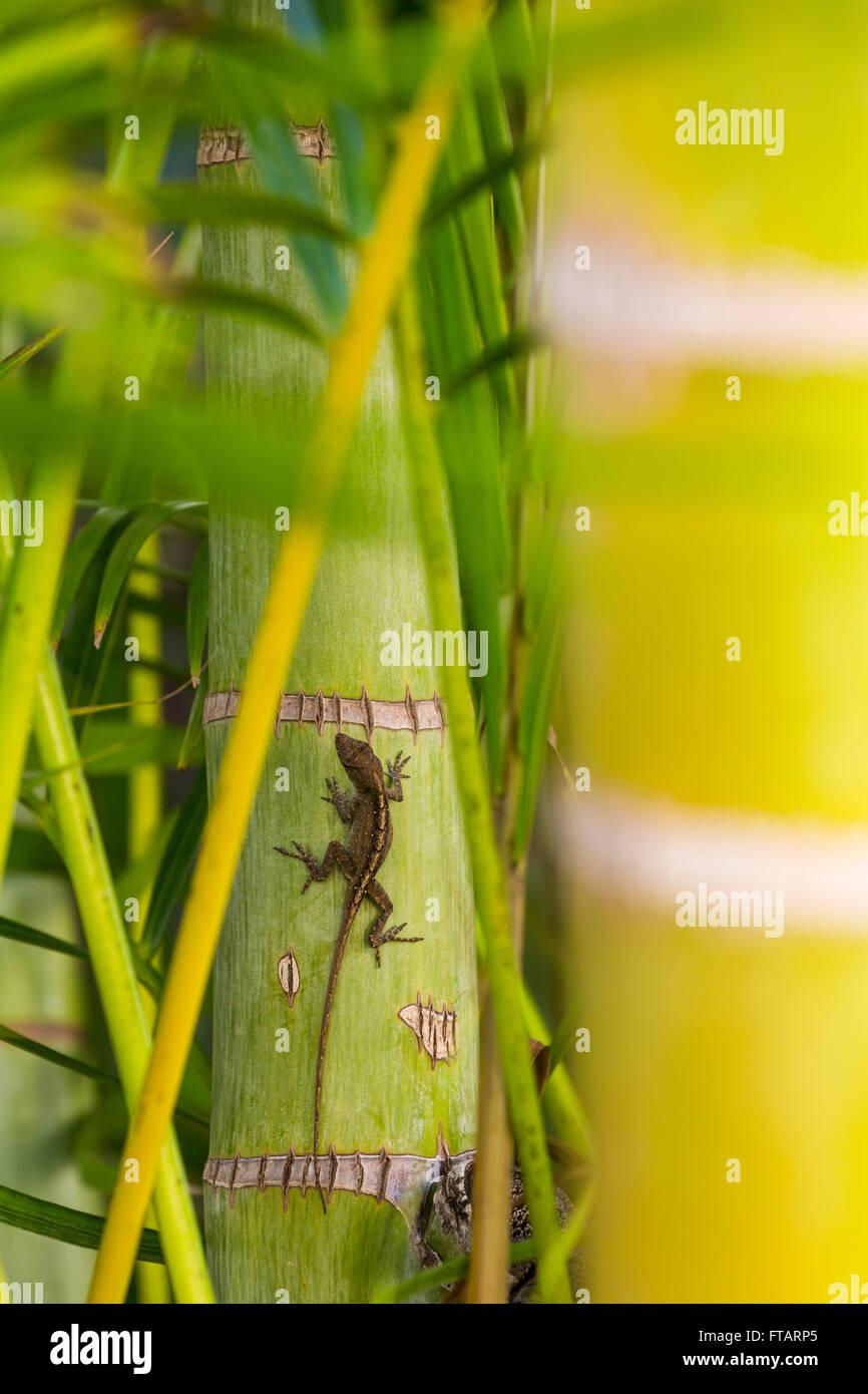 Gecko lizard climbing on a tropical palm tree, Kehei, Maui, Hawaii nature - Stock Image