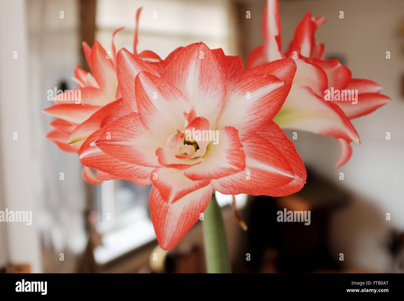amaryllis 18 technology